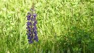 The First Lupine