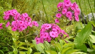Time to Enjoy the Phlox